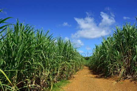 depositphotos_25555385-stock-photo-sugarcane