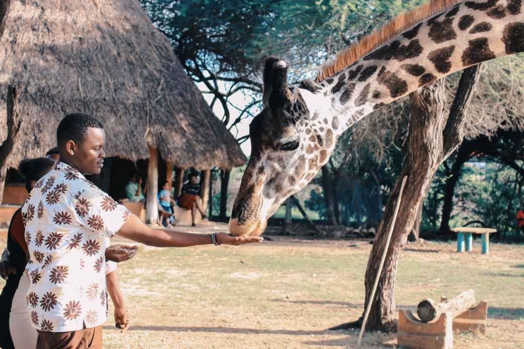 person feeding giraffe